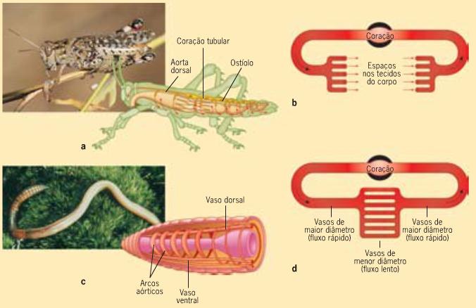 crawdads vertebrados e invertebrados